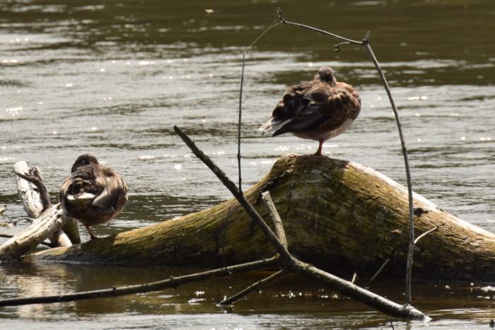 Ente auf Holzstamm