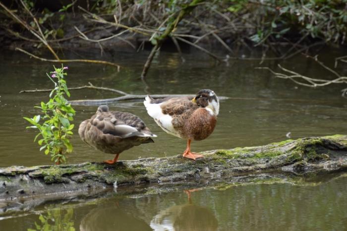 Schlafende Enten auf einem Holzstamm im Wasser