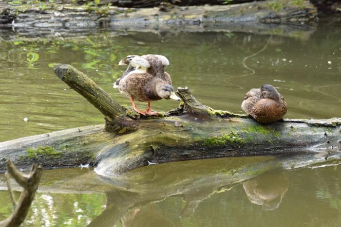 Zwei Enten auf Holzstamm im Wasser