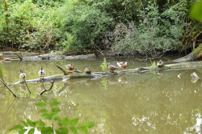 7 Enten auf Holzstamm im Wasser