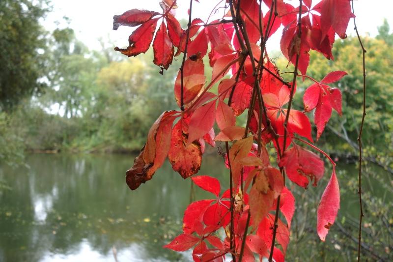 Rotgefärbte Blätter vor der Amper