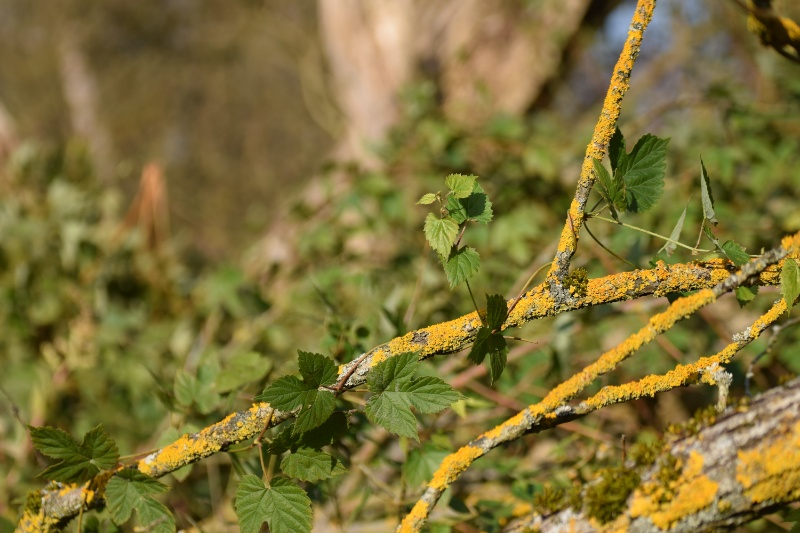 Grüne Blätter umranken flechtenbewachsenen Zweig