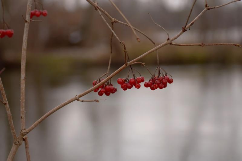 Rote Beeren an einem Zweig