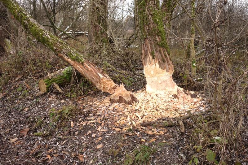 Von Bibern angenagte Bäume