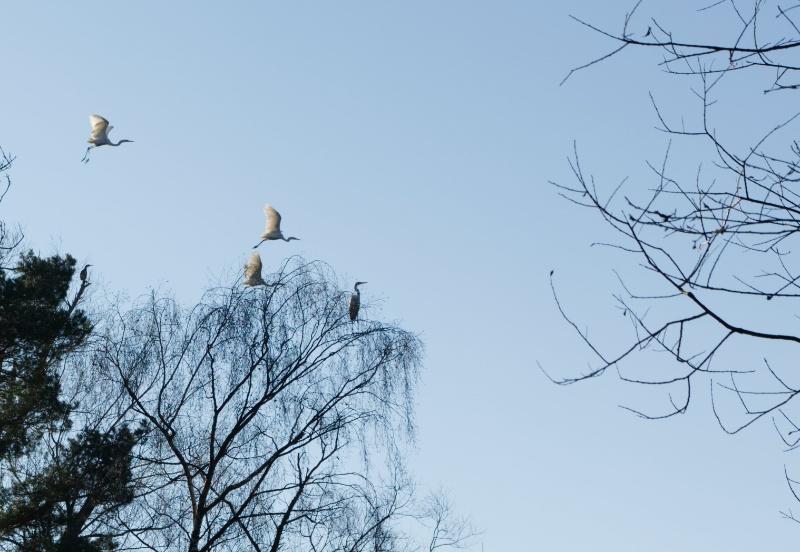 Drei Reiher im Flug, einer im Baum sitzend