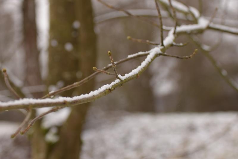 Knospen an einem Zweig
