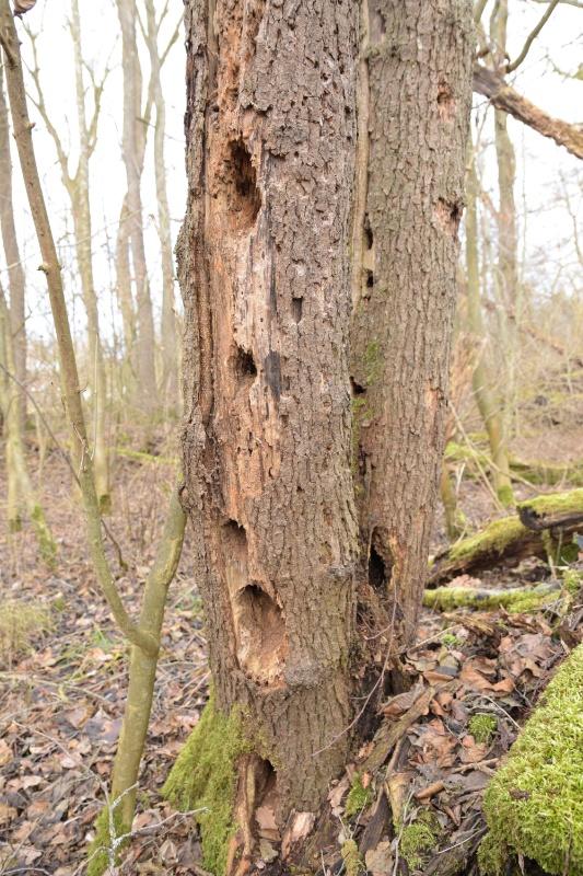Alter Baumstamm mit vielen Spechtlöchern