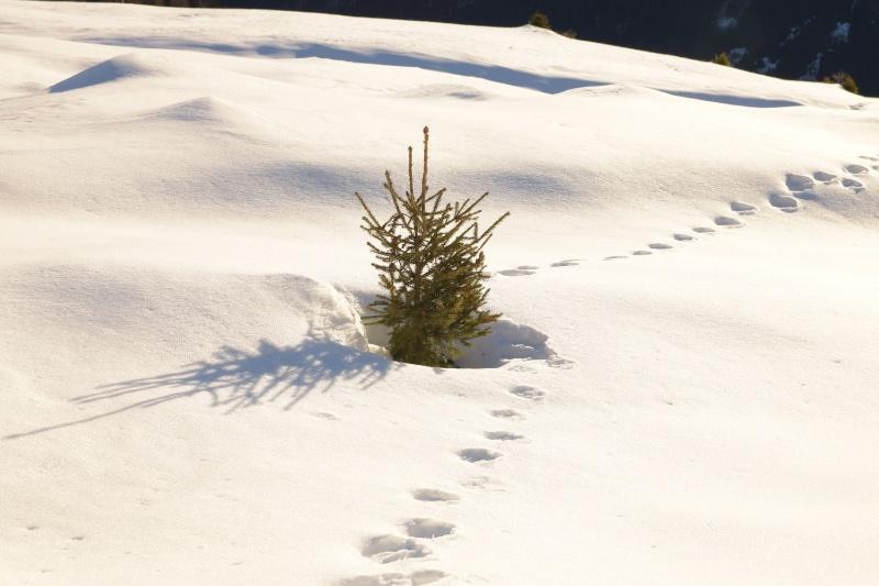 Kleine Fichte mitten im Schnee