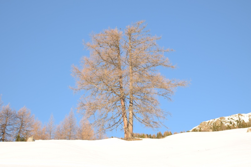 Zweistämmiger Baum