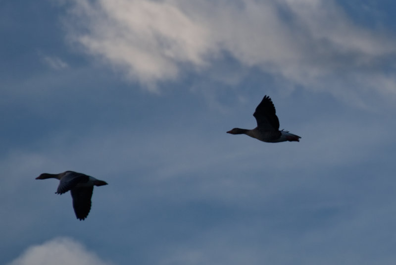 Zwei Graugänse im Flug