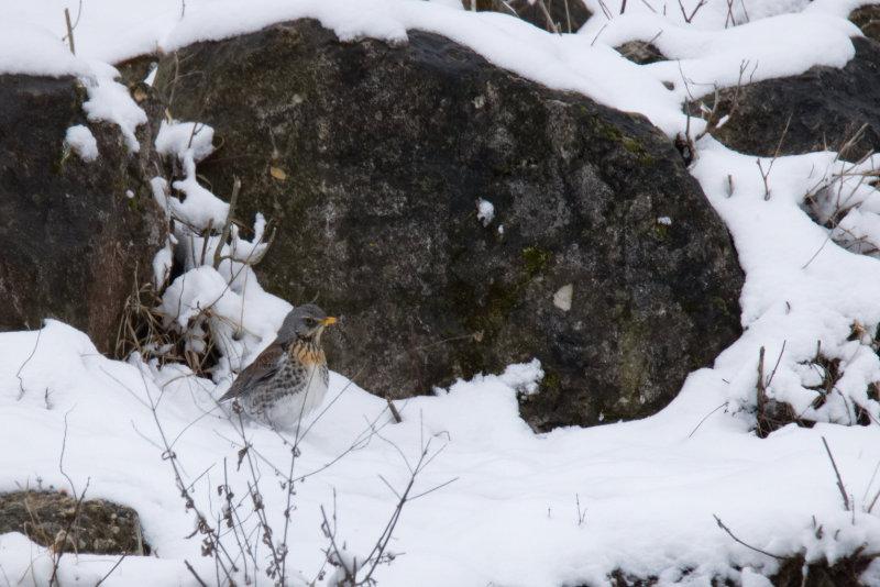 Misteldrossel am verschneiten Amper-Ufer