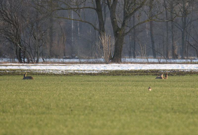 Drei Rehe liegen im Gras