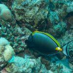 Gelbklingen-Nasendoktorfisch