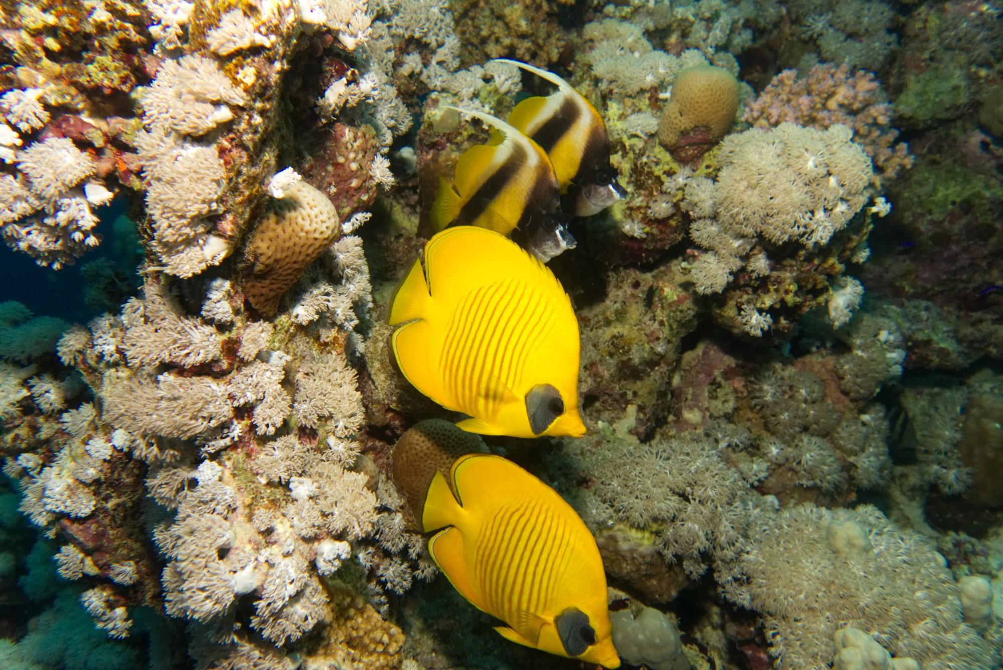 Partnertreffen - Masken-Falterfisch und Rotmeer-Wimpelfisch