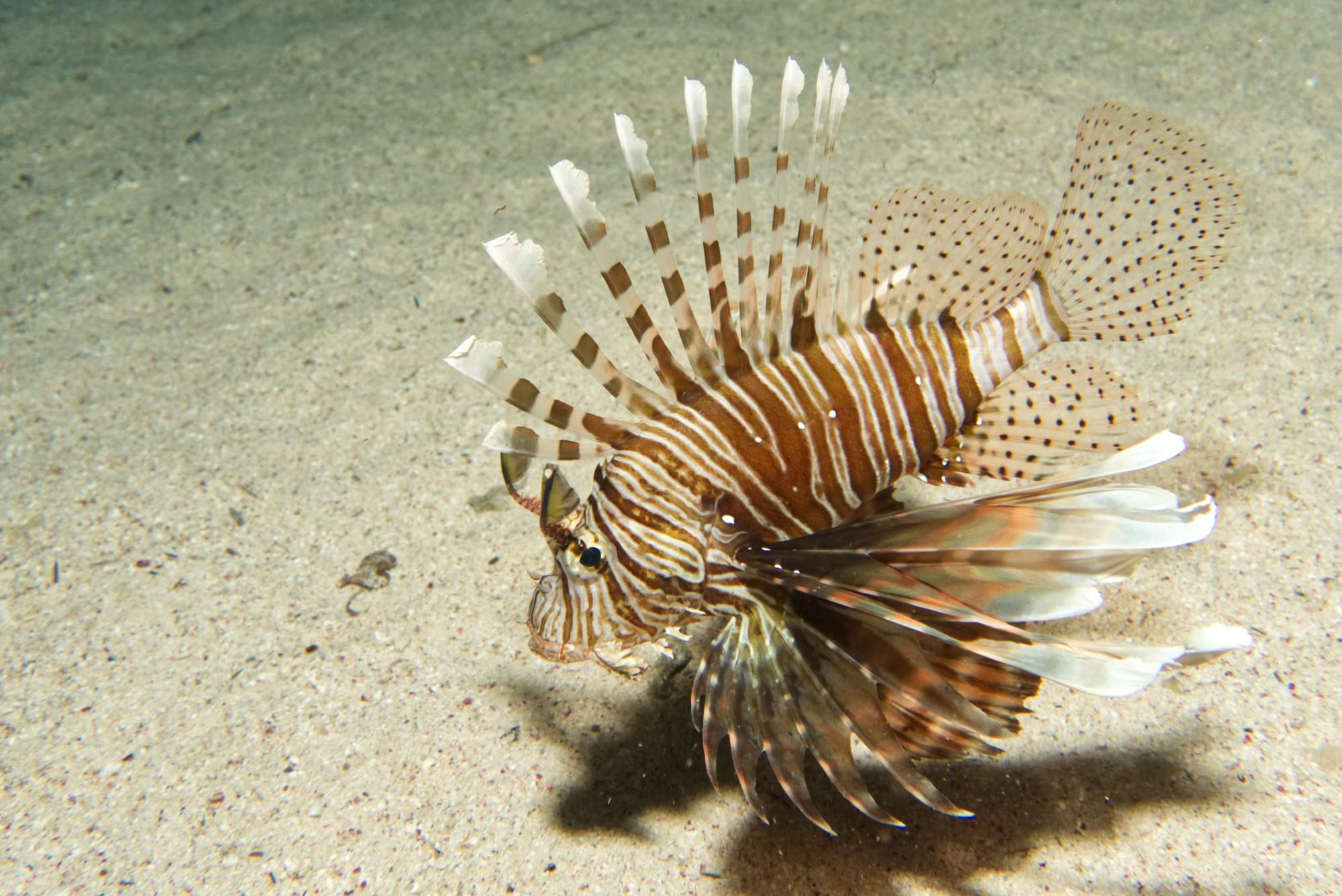 Gewöhnlicher Rotfeuerfisch