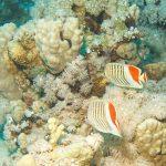 Rotfleck-Falterfisch