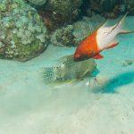 Zweifarben-Schweinslippfisch