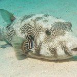 Weißfleck-Kugelfisch