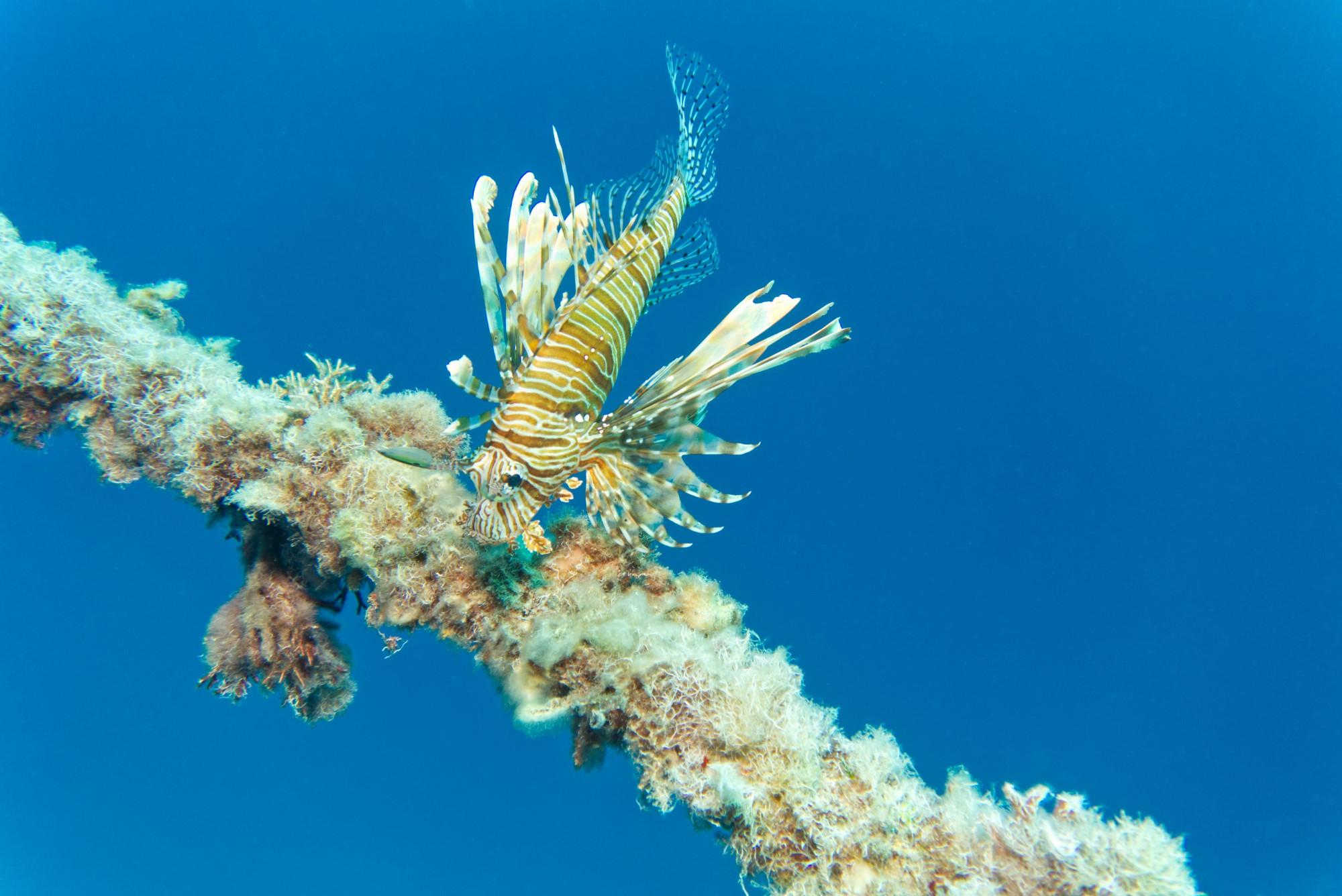 Rotfeuerfisch an Bootstau