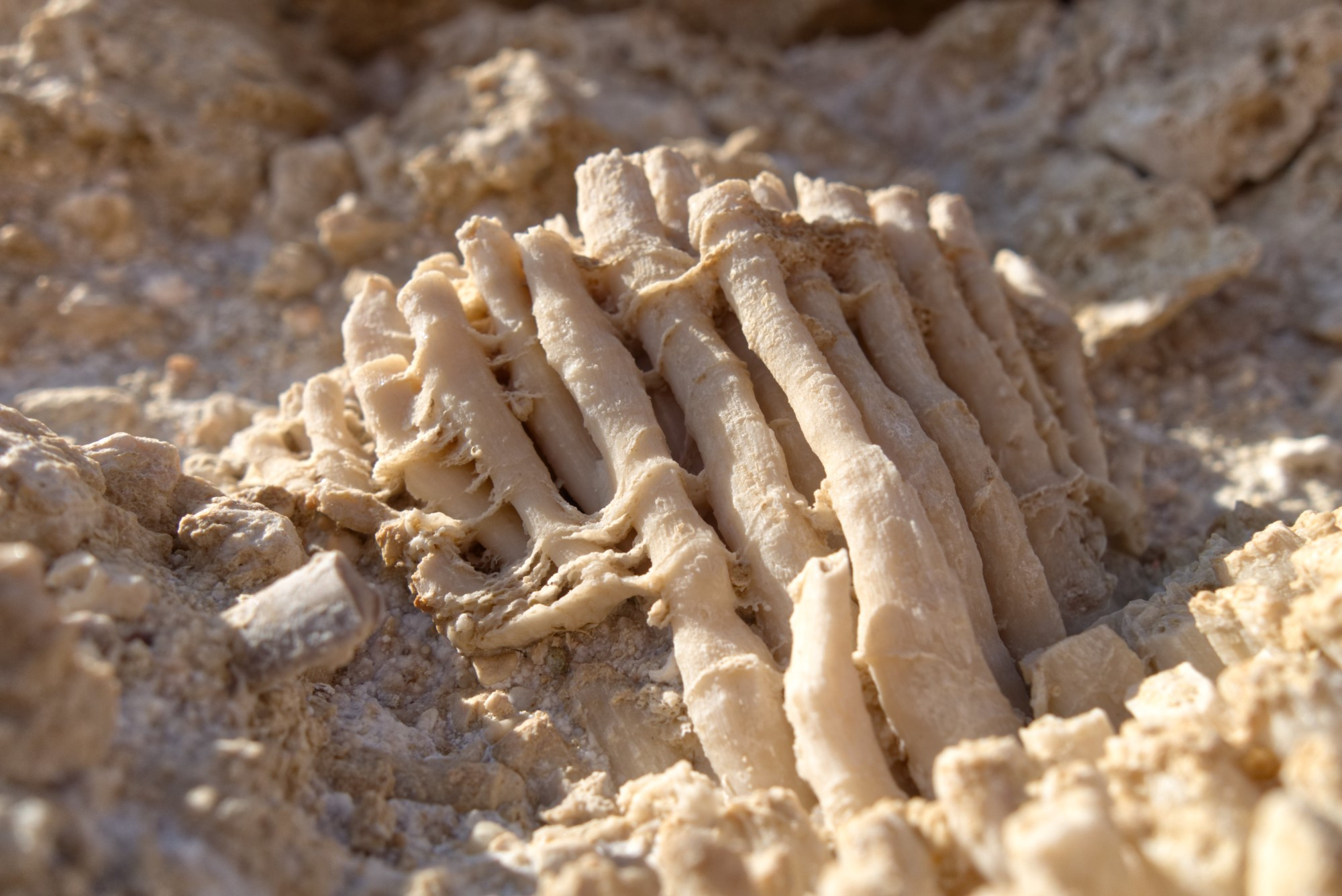 Versteinerte Korallen