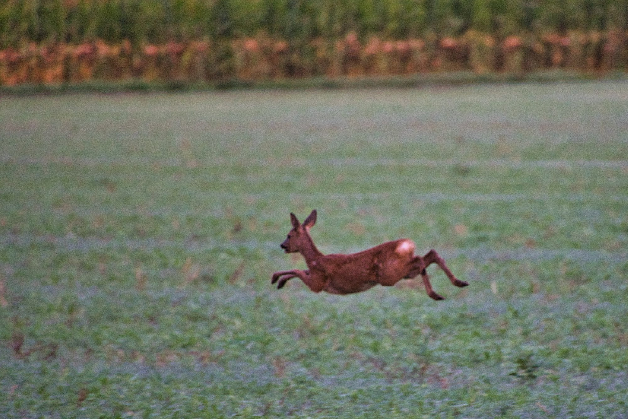 Springendes Kitz