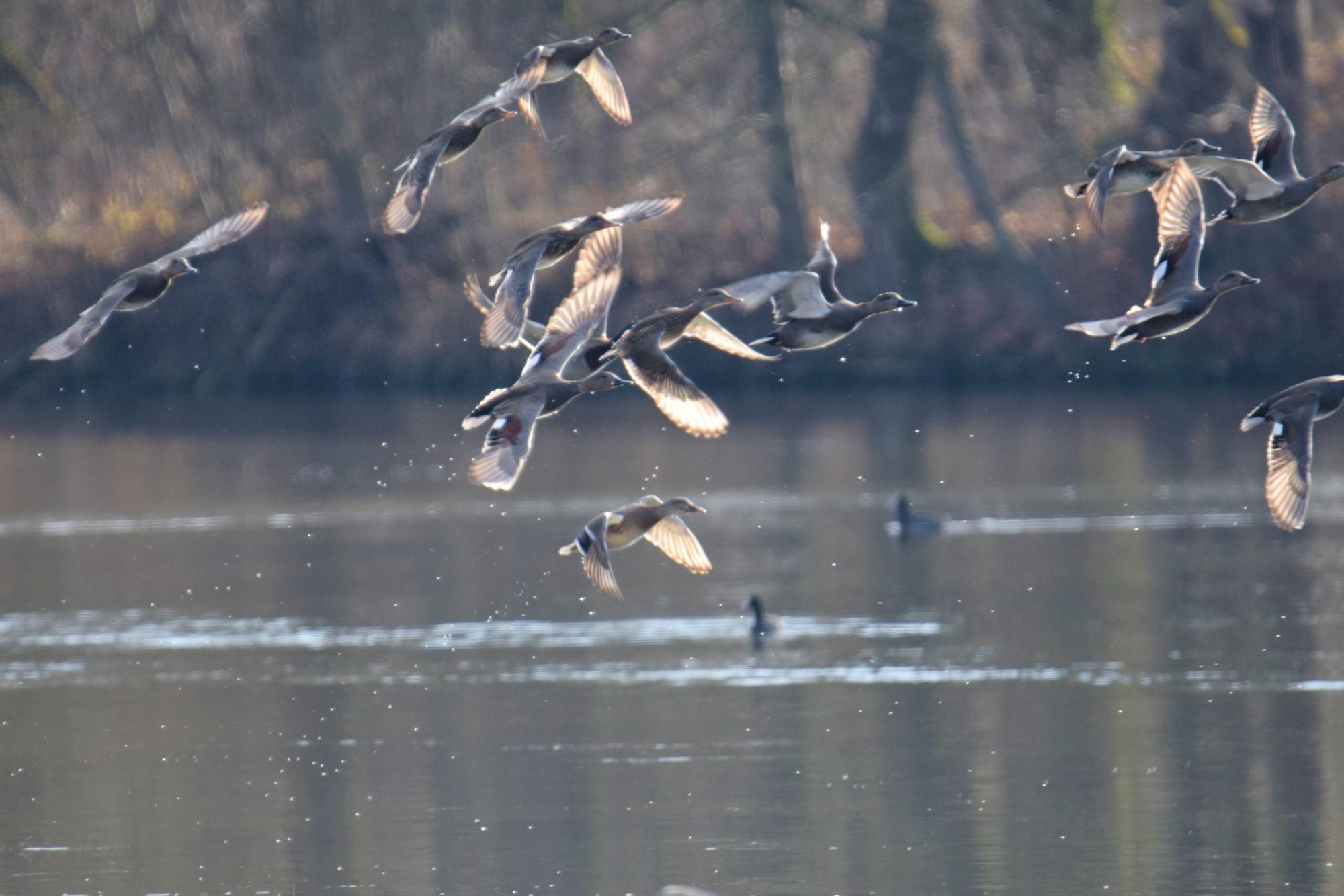 Enten schrecken hoch und fliegen davon
