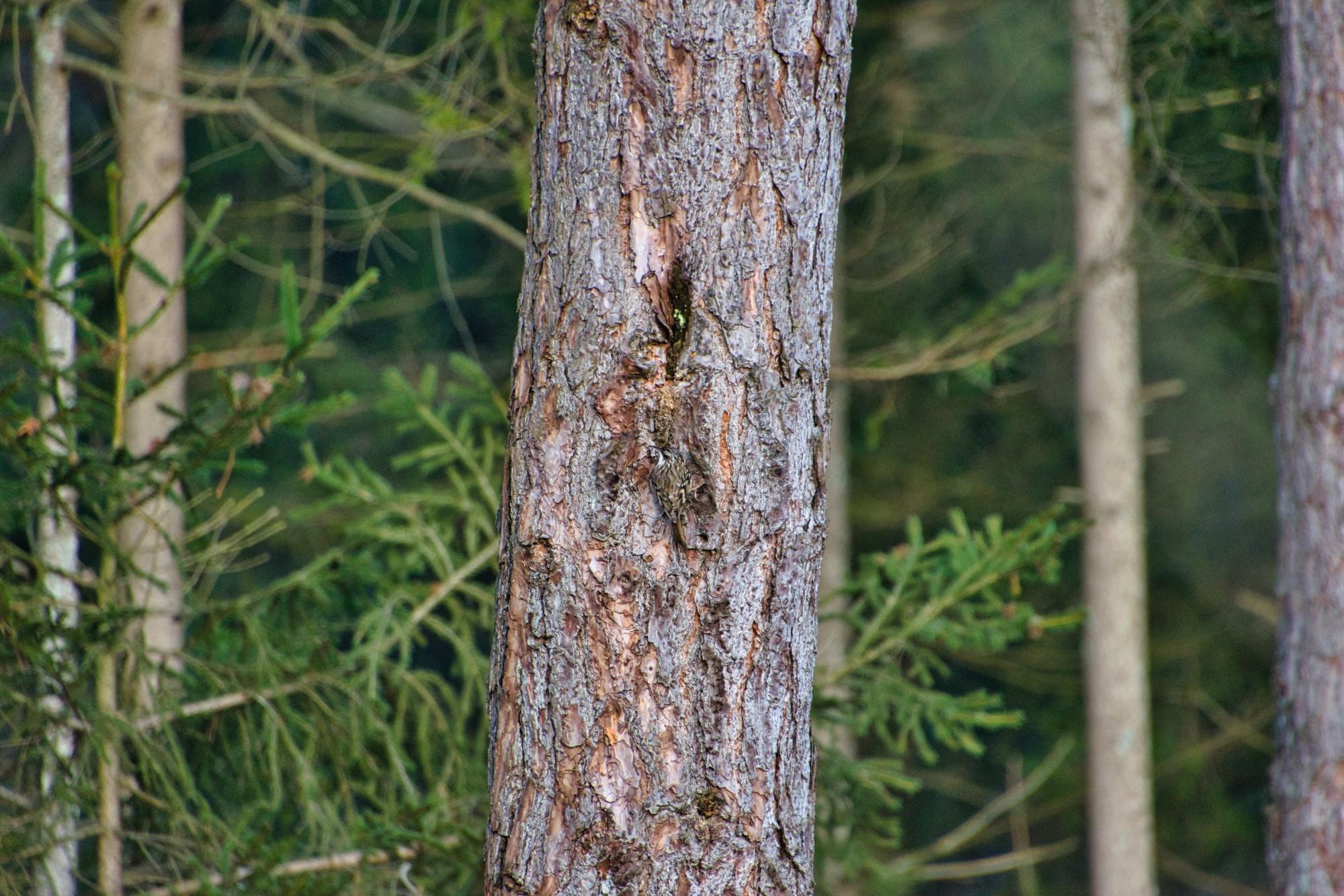Baumläufer gut getarnt